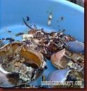 crab back