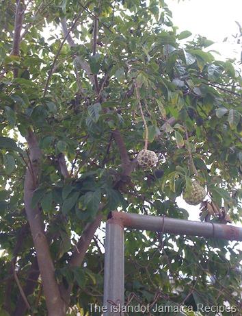 sweetsop tree