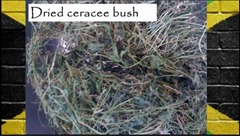 dried cerasee