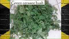 green cerasee