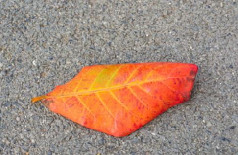 Terminalia catappa leaf