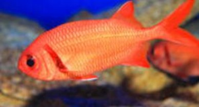 wrenchman (soldier fish Holocentridae)