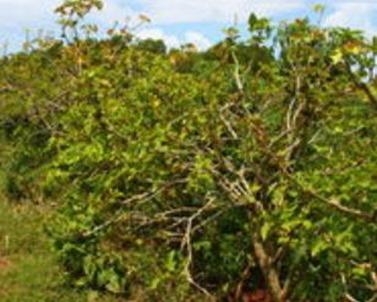 Jatropha curcas (physic nut tree)