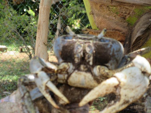 Jamaican blue crab