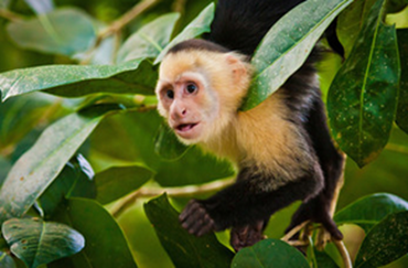 NEPA The white-faced Capuchin monkey